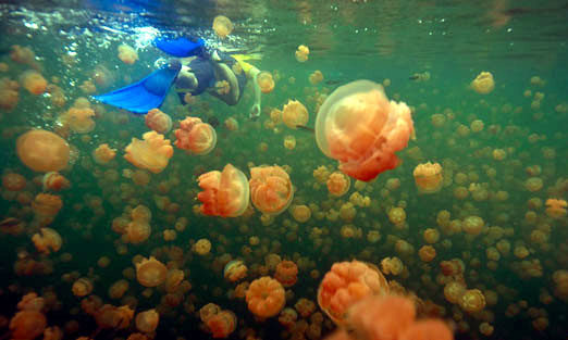 Jellyfish-Lake
