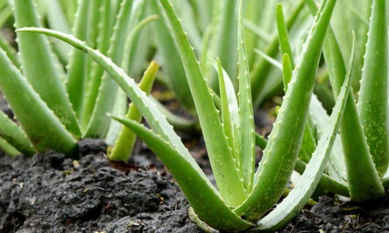 aloe bitkisi