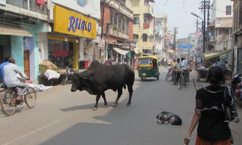 Varanasi şəhəri küçədə gəzən inək